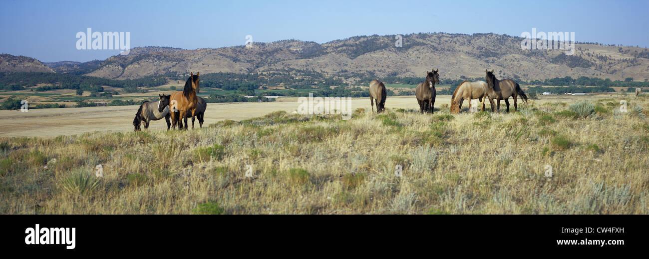 Image panoramique, chevaux sauvages Black Hills Wild Horse Sanctuary accueil à plus grand troupeau de chevaux sauvages Banque D'Images