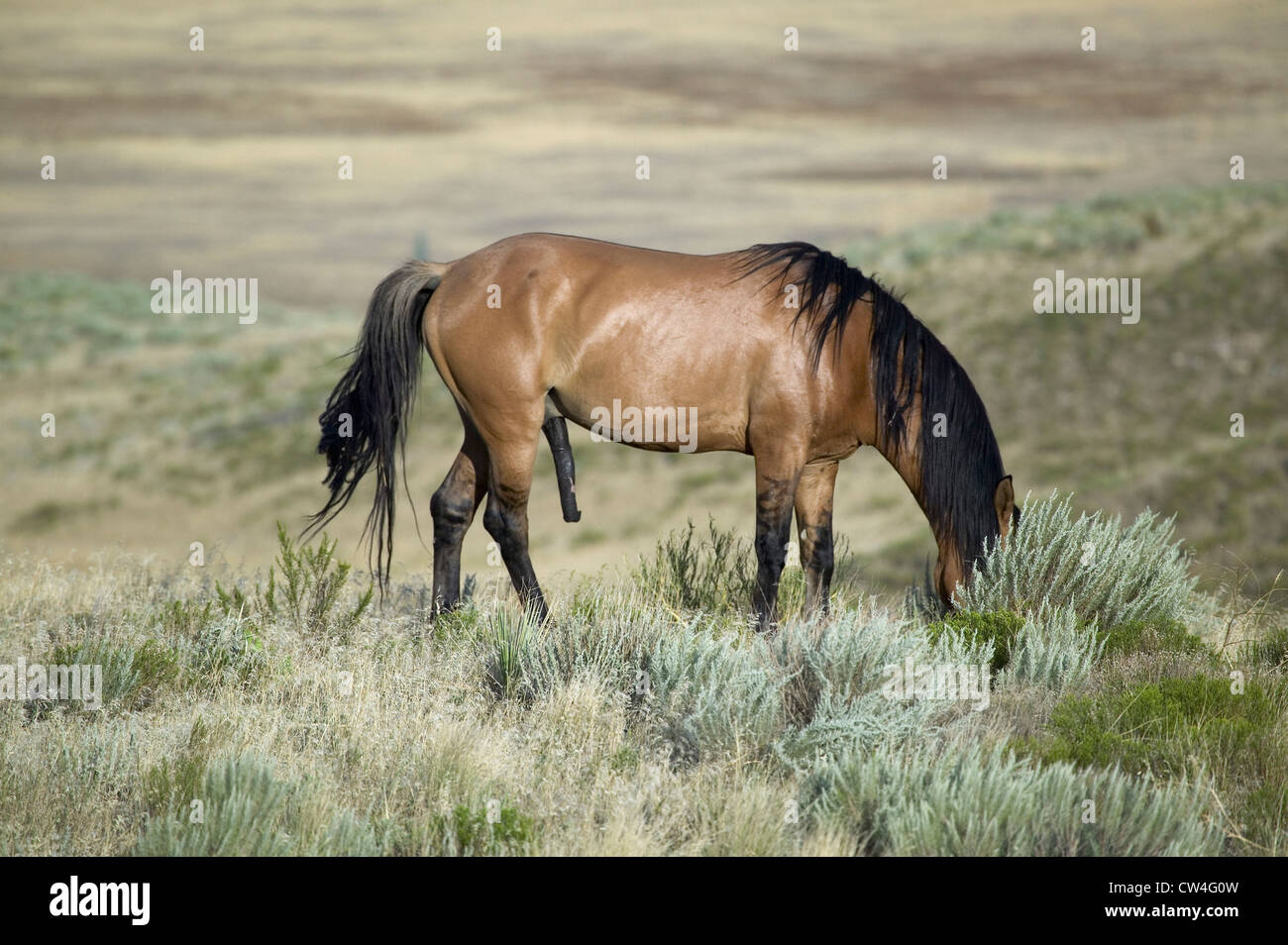 Connu sous le nom de cheval Casanova avec une érection l'un des chevaux sauvages Black Hills Wild Horse Sanctuary Banque D'Images