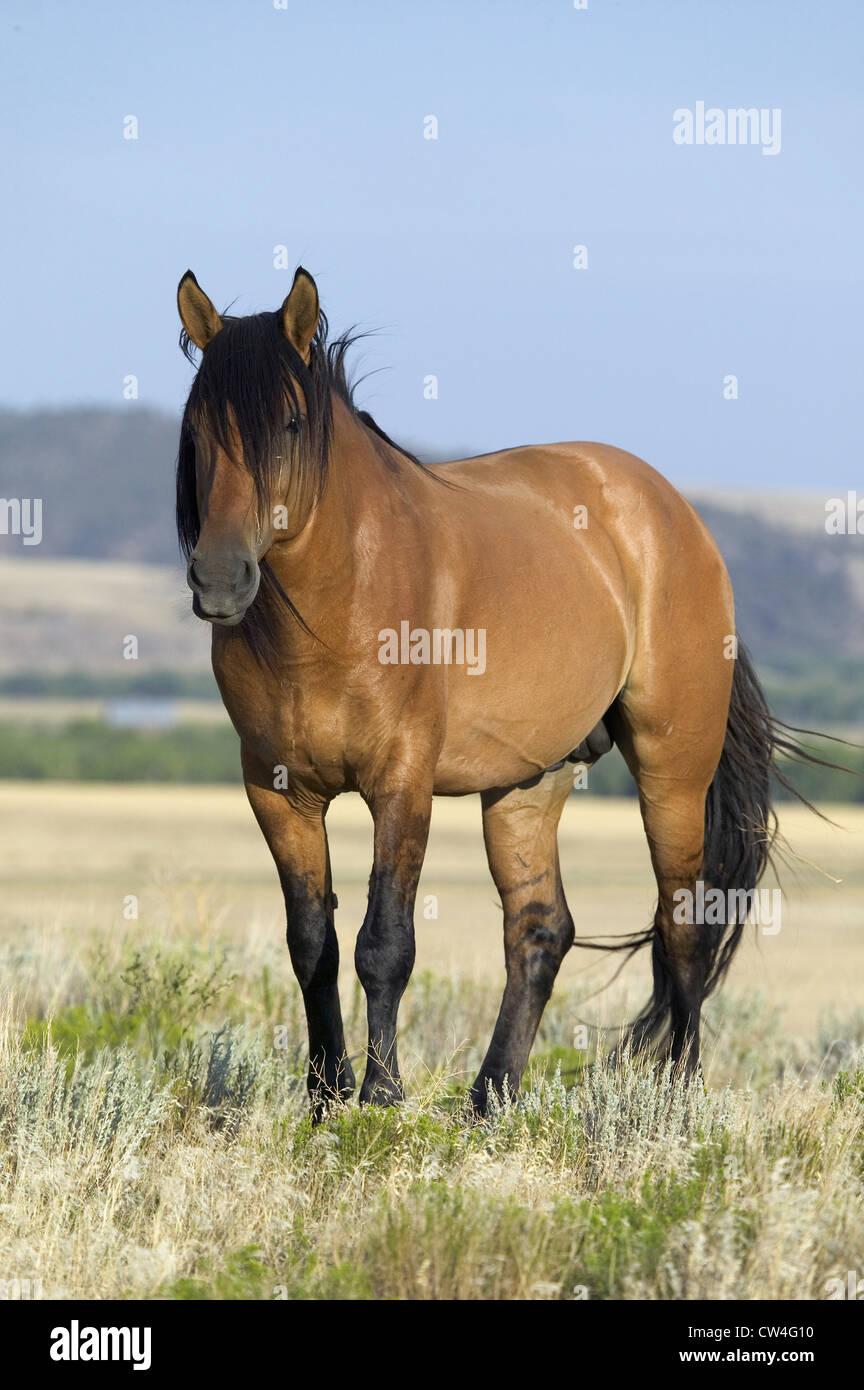Connu sous le nom de Casanova un cheval chevaux sauvages Black Hills Wild Horse Sanctuary accueil à plus grand troupeau Banque D'Images