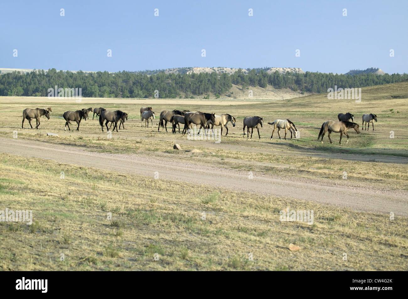 Chevaux sauvages à marcher le long de la route Black Hills Wild Horse Sanctuary accueil à plus grand troupeau de Banque D'Images