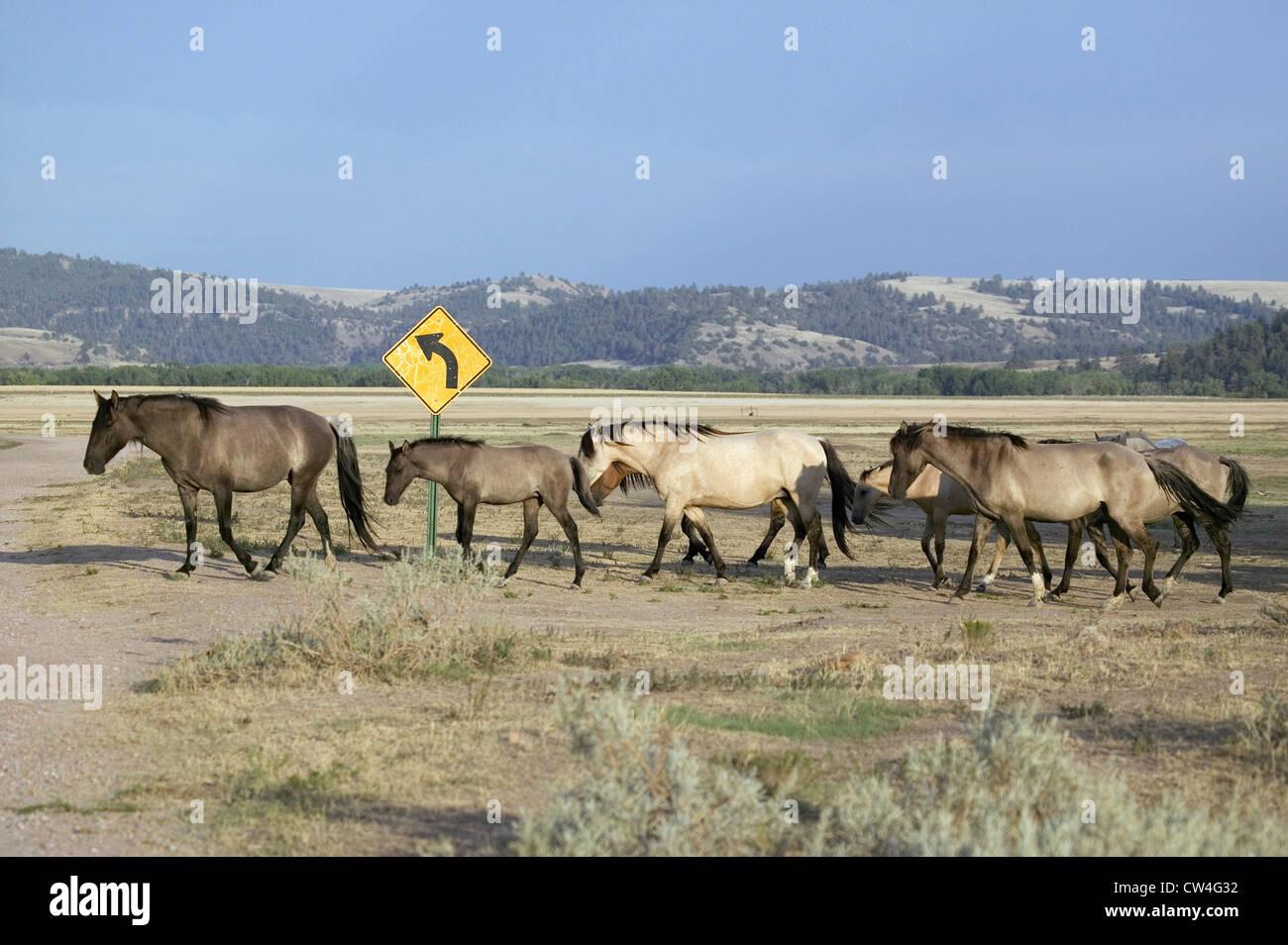 Wild horses crossing road devant road sign Black Hills Wild Horse Sanctuary accueil à plus grand troupeau de chevaux Banque D'Images
