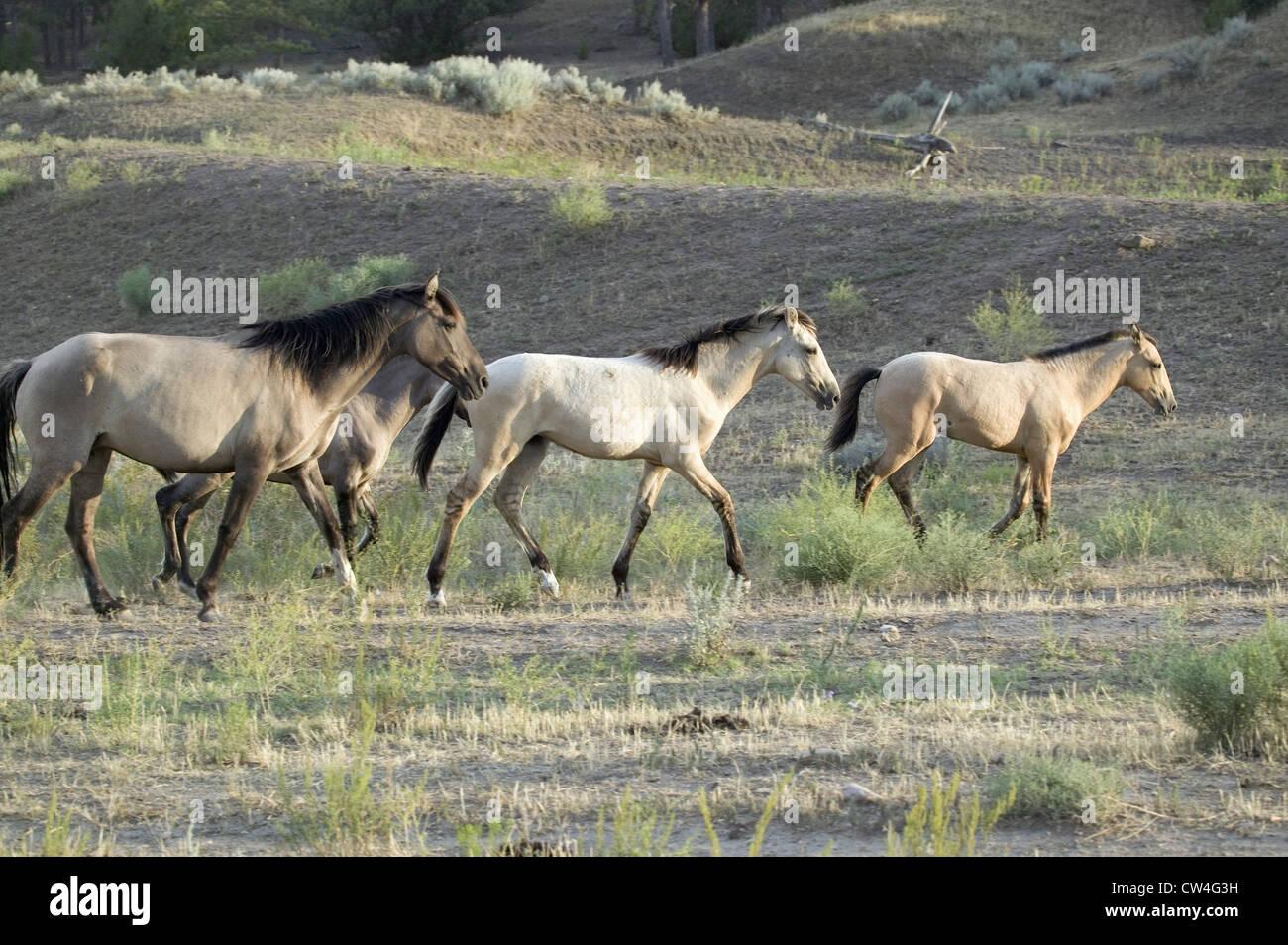 Chevaux sauvages balade dans la ligne Black Hills Wild Horse Sanctuary accueil à plus grand troupeau de chevaux Banque D'Images