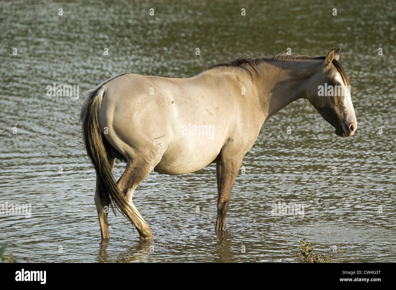 L'étang de patauger dans des Black Hills Wild Horse Sanctuary accueil à plus grand troupeau de chevaux sauvages Banque D'Images