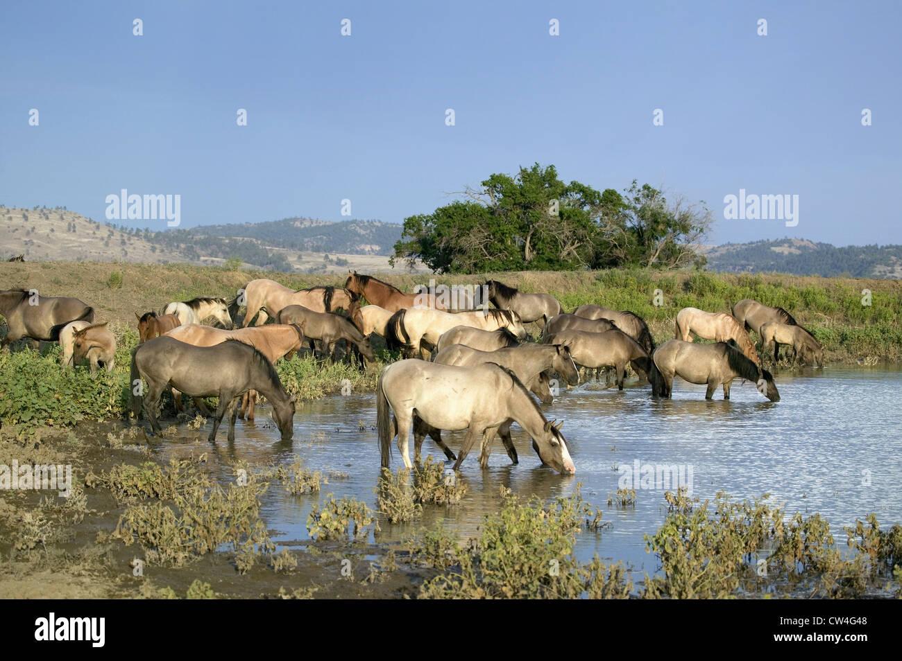 Grand groupe de chevaux sauvages pataugez dans étang Black Hills Wild Horse Sanctuary accueil à plus grand troupeau Banque D'Images