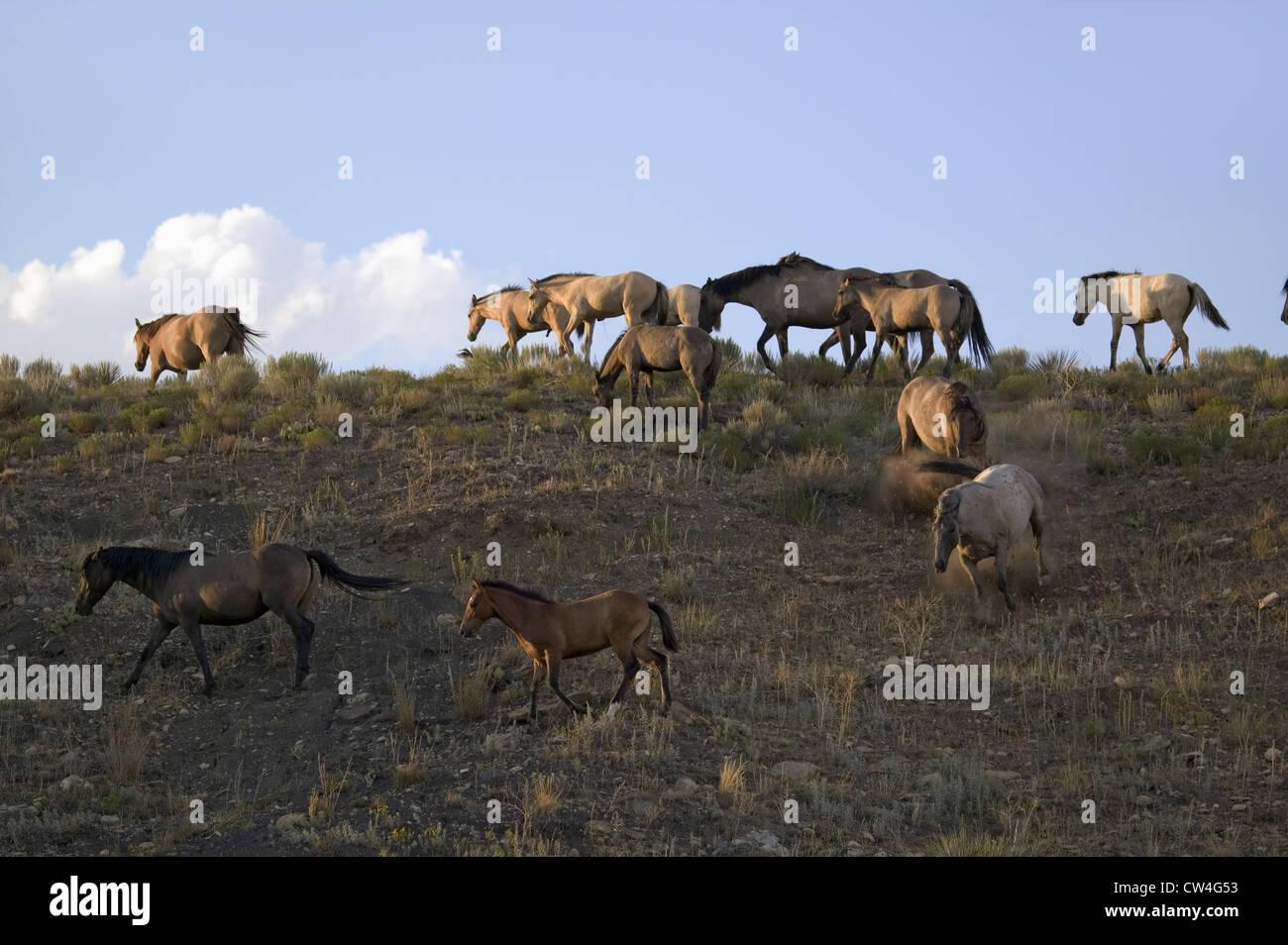 Chevaux sauvages marche sur colline coucher de Black Hills Wild Horse Sanctuary accueil à plus grand troupeau de Banque D'Images