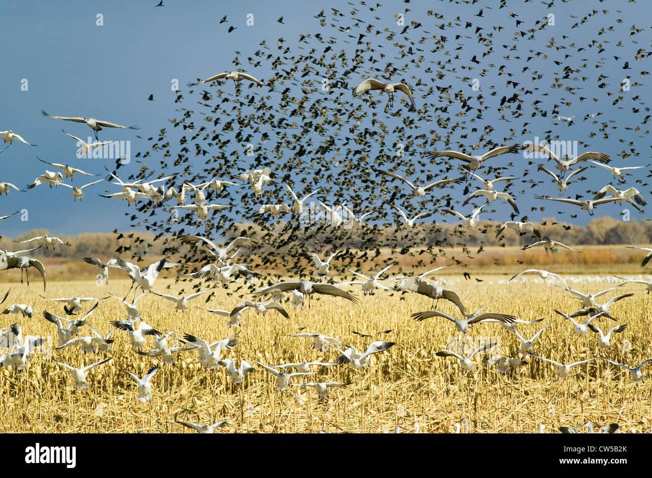 Des milliers des neiges oiseaux noirs grues volent au-dessus de champ de Bosque del Apache National Wildlife Refuge Banque D'Images