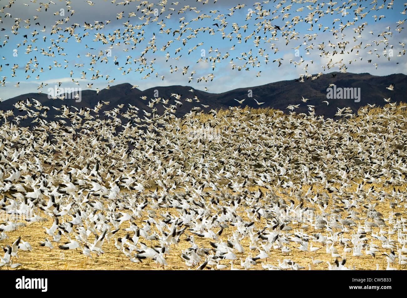 Des milliers d'oies blanches survoler un champ Bosque del Apache National Wildlife Refuge près de San Antonio Socorro Banque D'Images