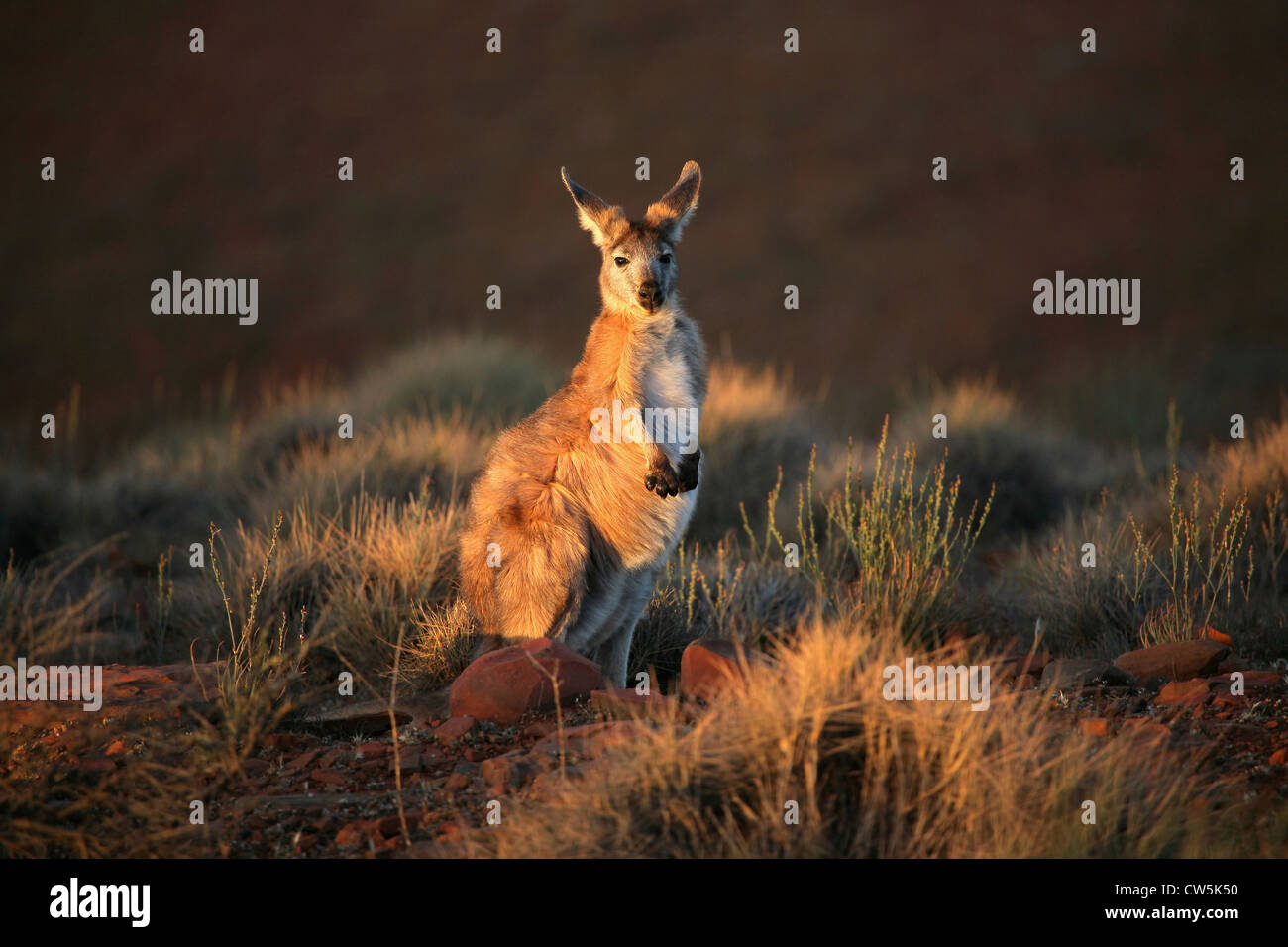 Kangaroo dans une forêt, Flinders Ranges, Australie du Sud, Australie Photo Stock