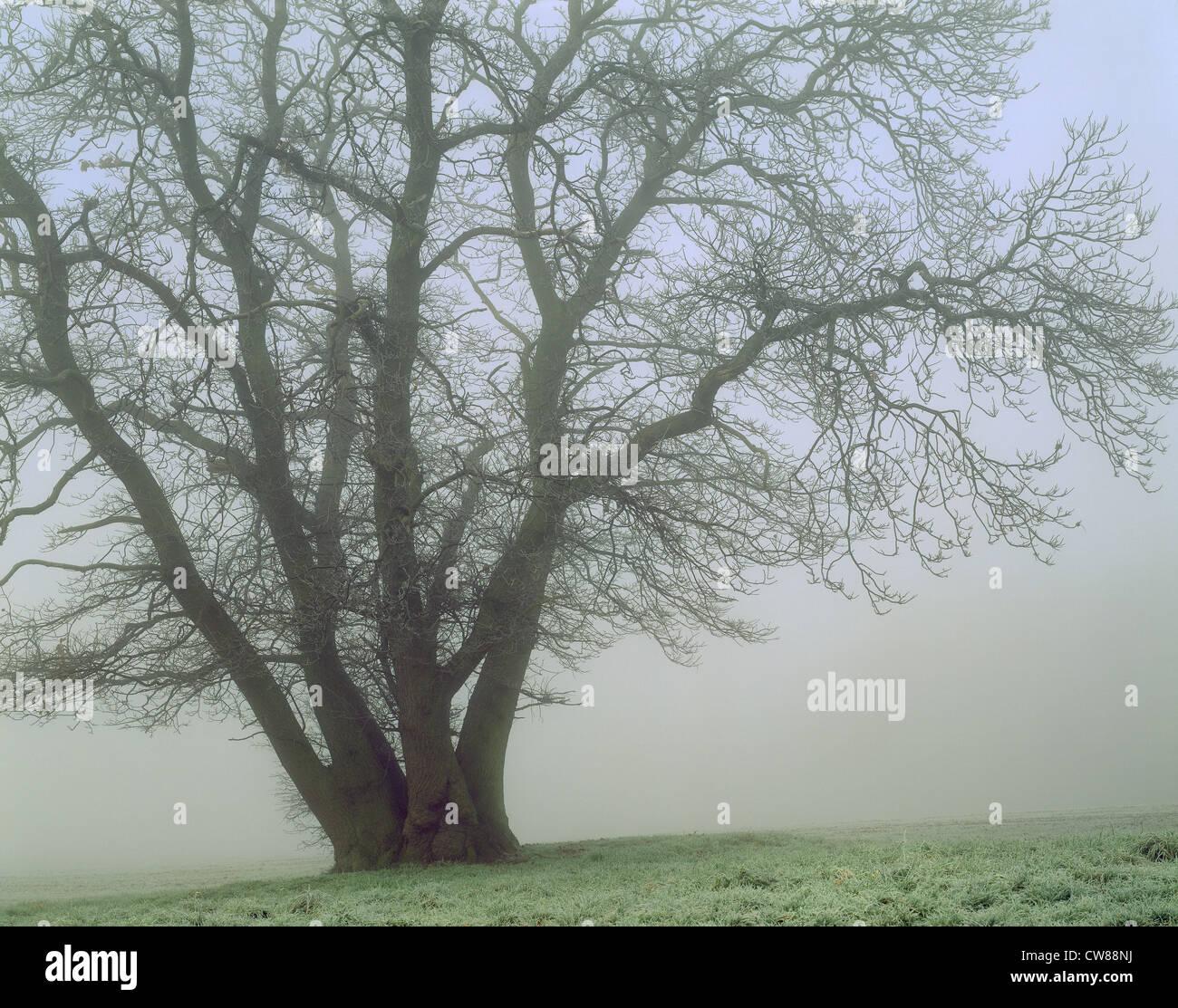 Sweet chestnut tree en hiver dans la brume. Arbre est dépouillé de feuilles. Photo Stock