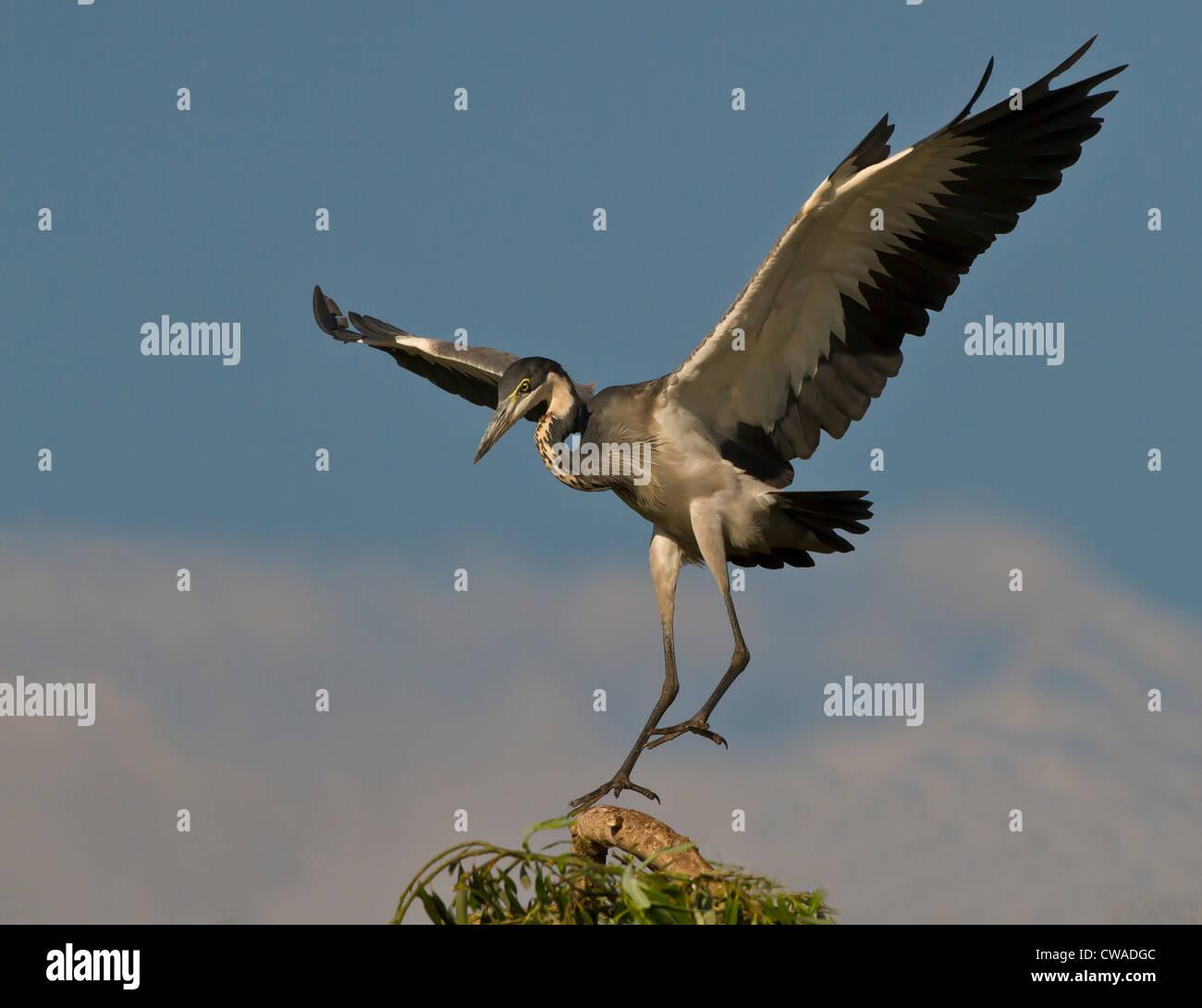 Héron à tête noire, Lonehill Barrage, Johannesburg, Afrique du Sud Photo Stock