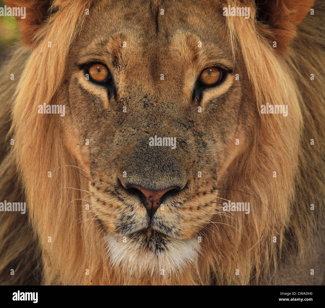 Lion portrait, Kgalagadi Transfrontier Park, Afrique Photo Stock