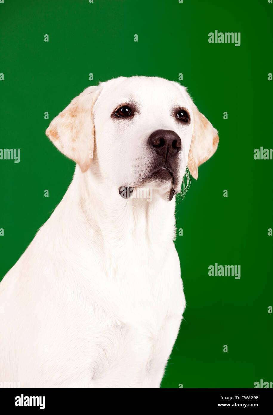 Beau chien de race labrador assis et isolées sur vert Photo Stock