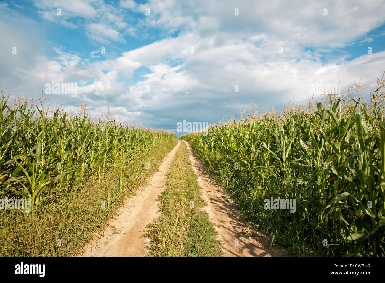 Cours sur le champ de maïs Photo Stock