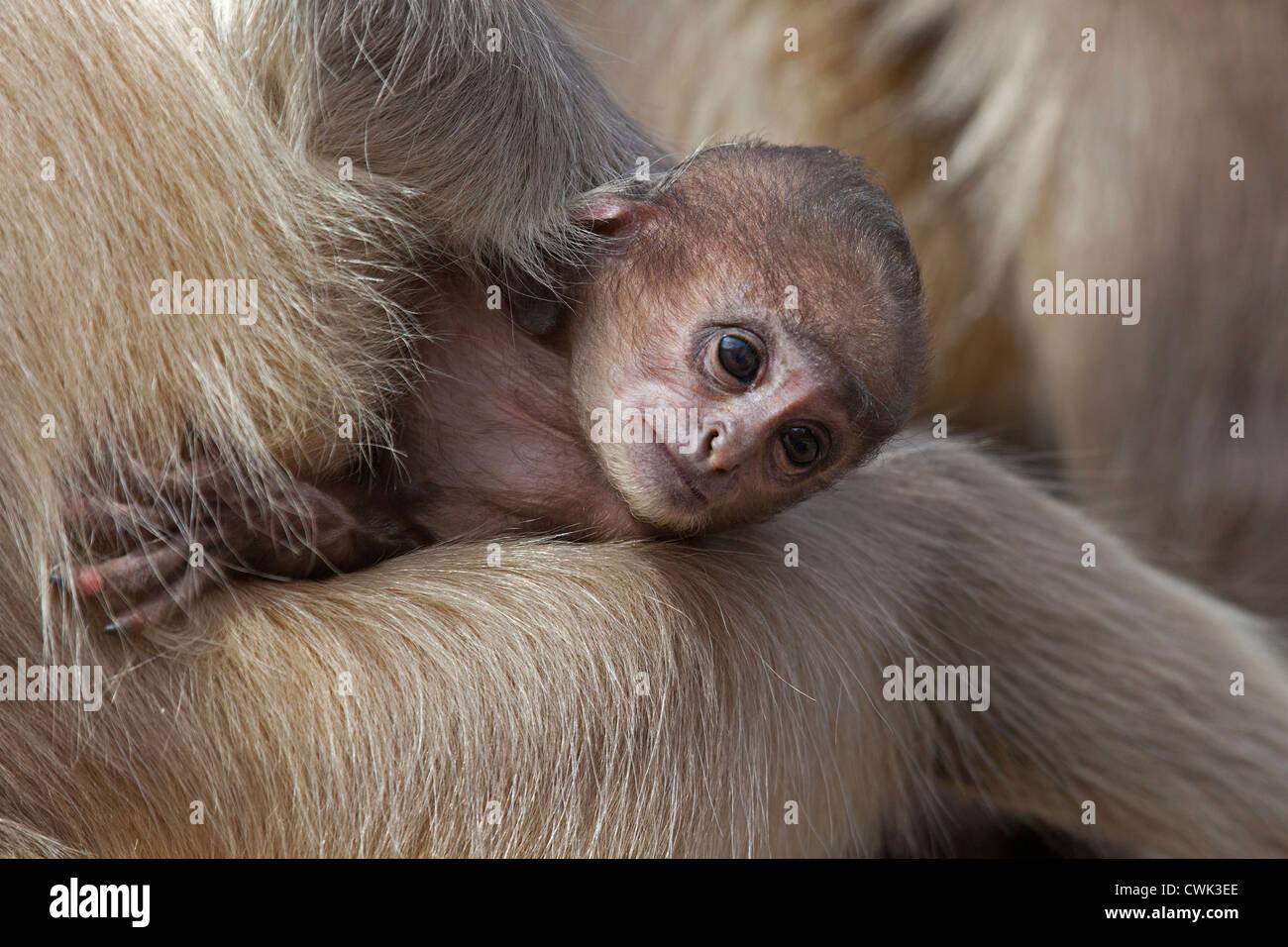 Gray langur Hanuman langur / animaux singe (Semnopithecus) holding baby, le parc national de Ranthambore, Sawai Photo Stock