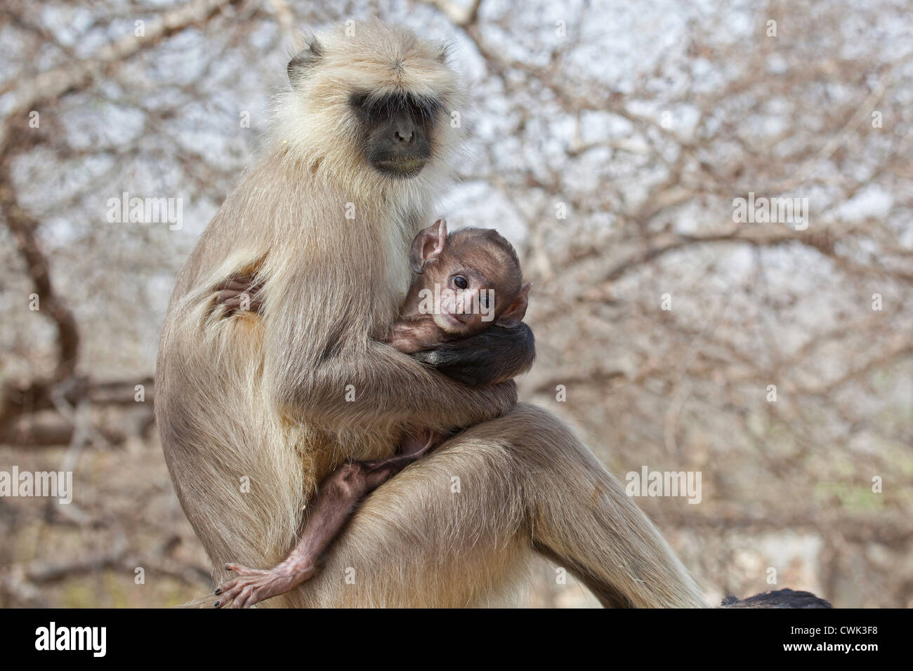 Gray langur Hanuman langur / animaux singe (Semnopithecus) avec bébé, le parc national de Ranthambore, Photo Stock