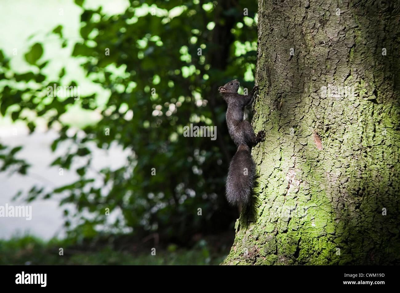 L'écureuil noir climbing tree in forest Photo Stock