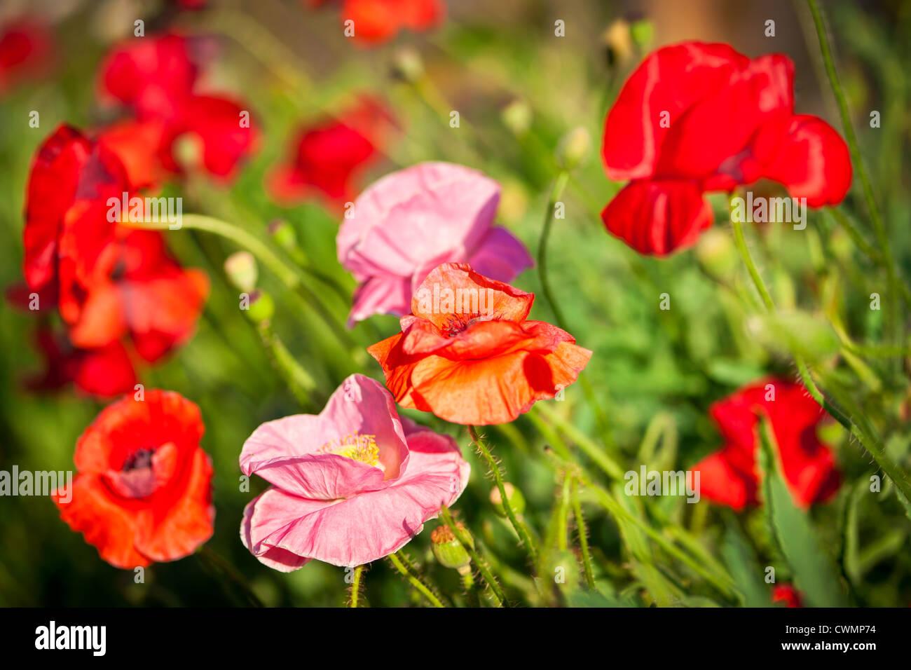Coquelicots rouges et roses dans le jardin d'été Photo Stock