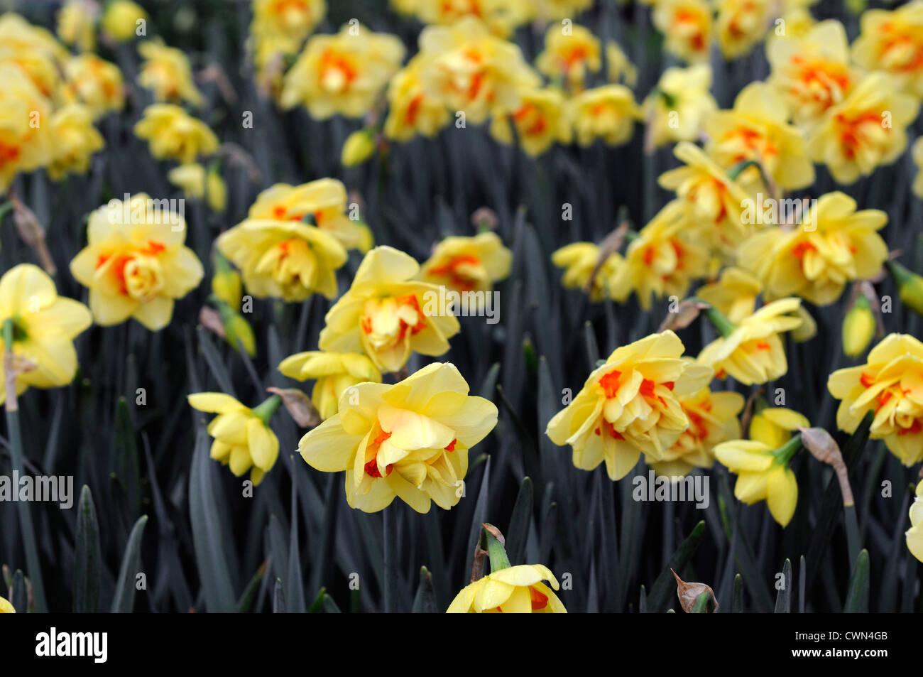 Narcisse Tahiti Orange Jaune Petales Portraits De Plantes Fleurs