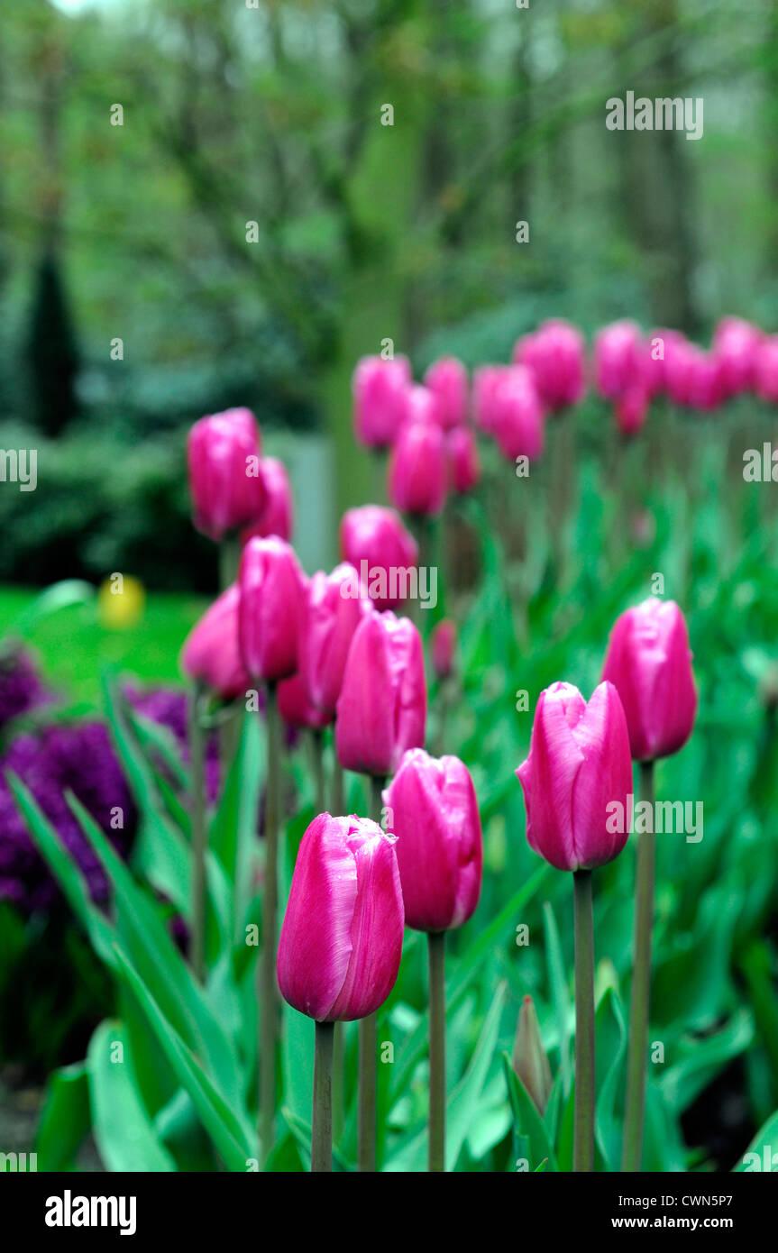 La Fin De L Unique Beaute Jumbo Tulipa Tulipe Blanche Rose Fleur