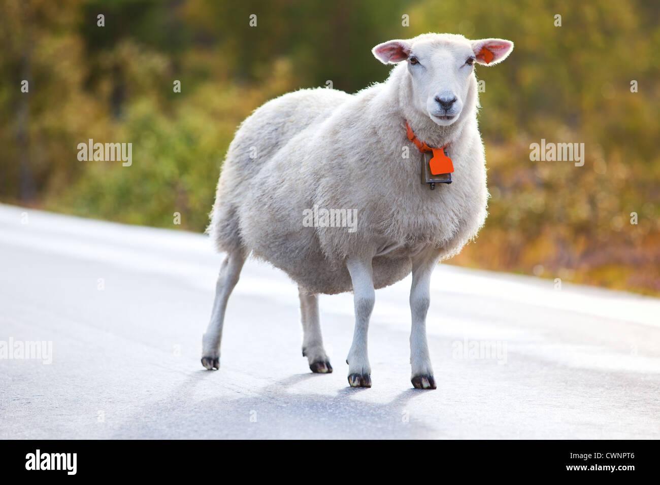 La marche des moutons sur la route en Norvège Photo Stock