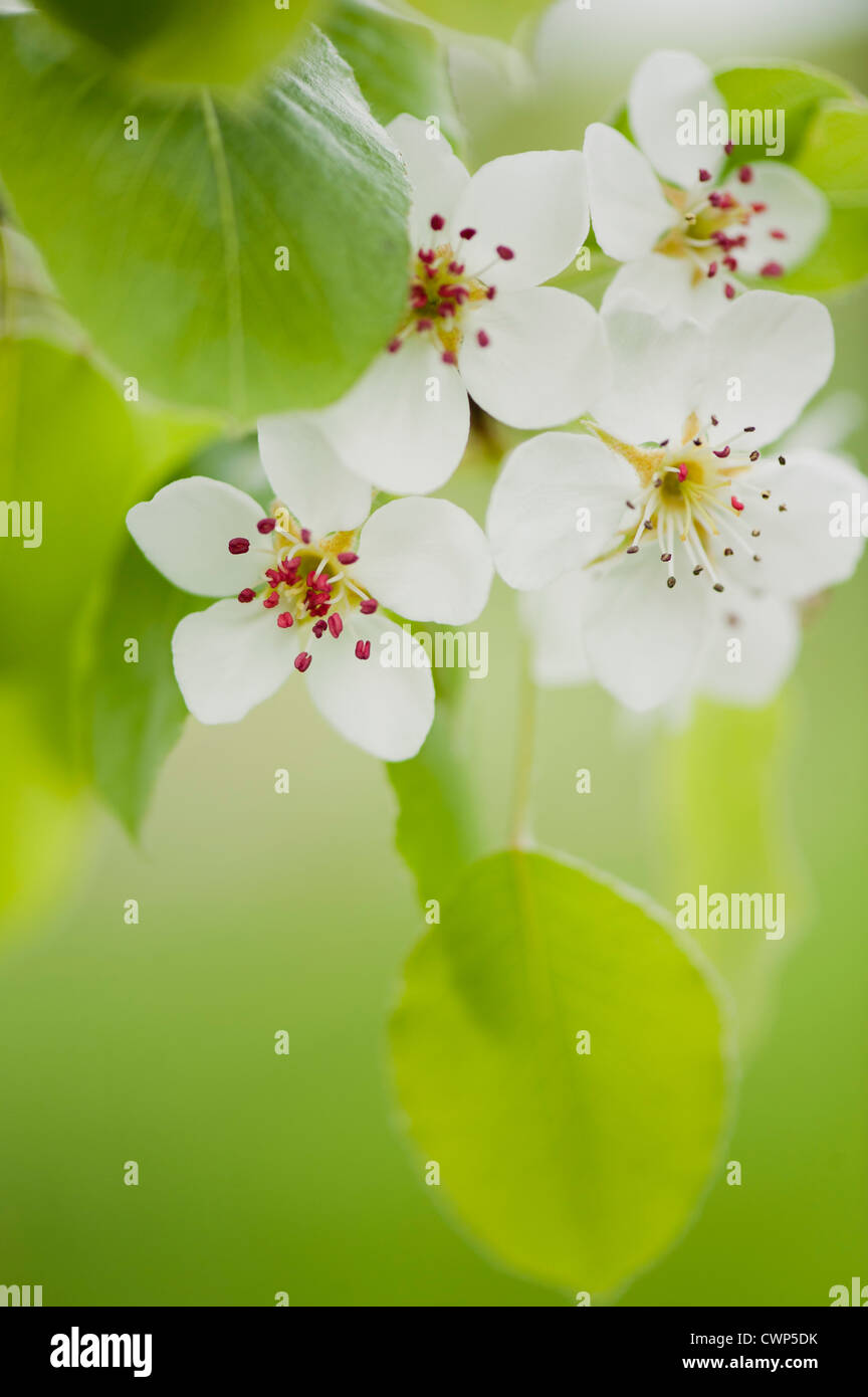 Apple Blossoms Photo Stock
