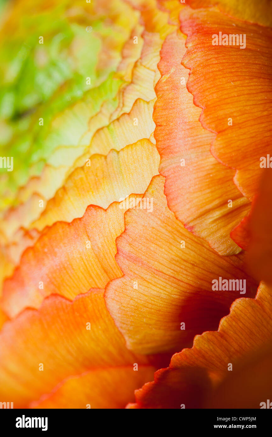 Ranunculus capitule, extreme close-up Photo Stock