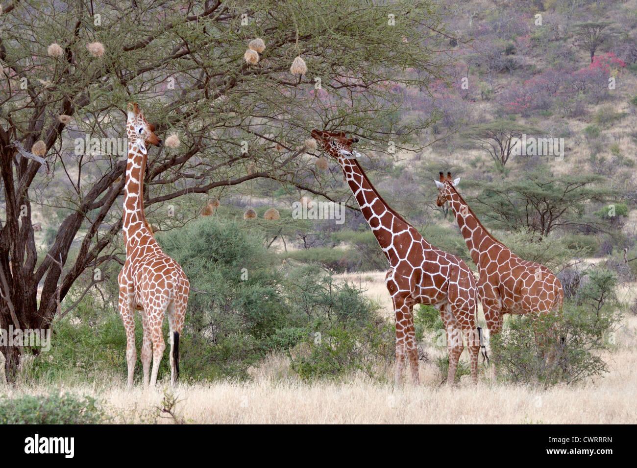 L'alimentation des girafes réticulée Banque D'Images