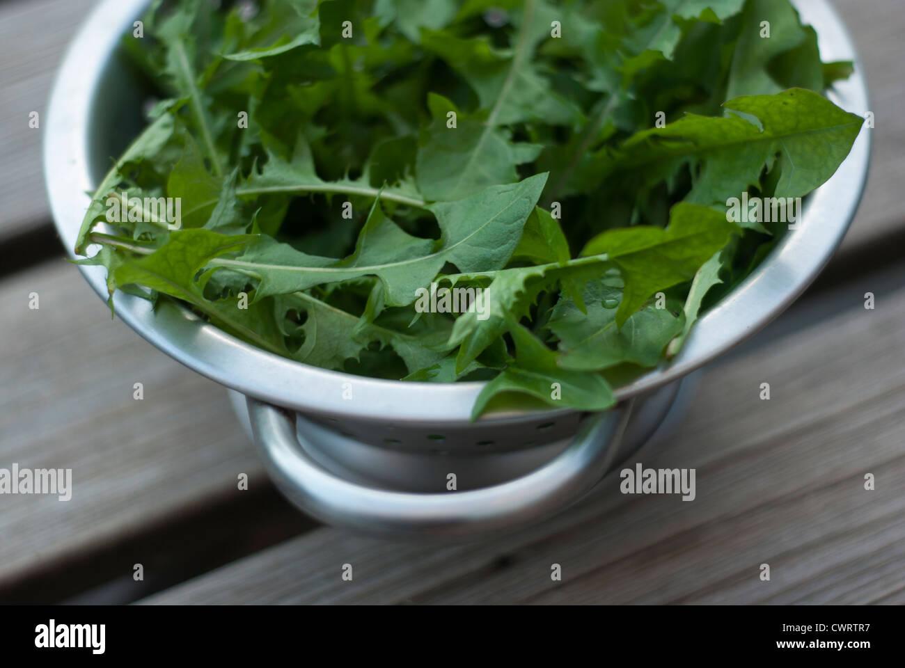 Pissenlit - Taraxacum officinale feuilles dans une passoire métallique de lattes de bois sur table. Photo Stock