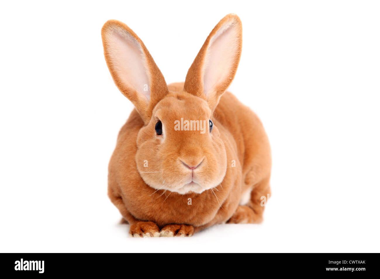 Kleinrex / Rex Bunny Photo Stock