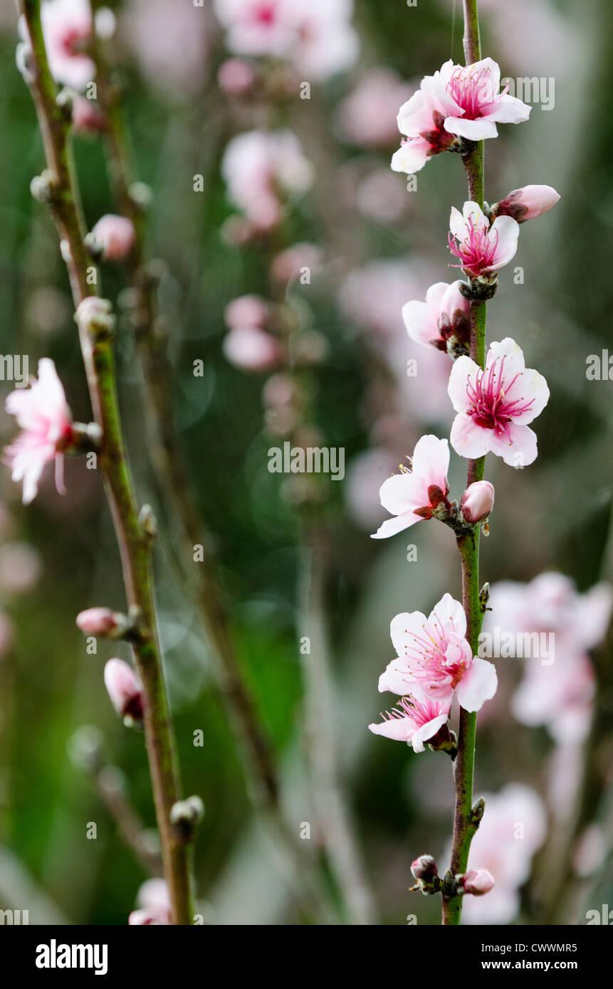 Prunier rose fleur fleurs pendant la saison de printemps. Photo Stock