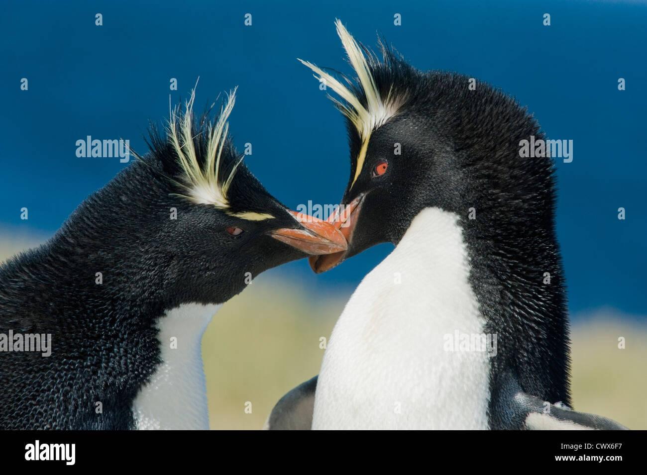 Rockhopper Penguin (Eudyptes chrysocome) Paire de cour, Îles Falkland Photo Stock