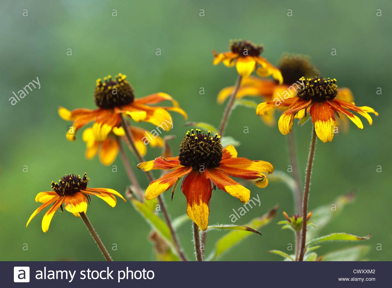 Browneyed Susan Rudbeckia triloba Prairie fleur bougie jaune noir orange vivace plante de jardin grand Août Photo Stock