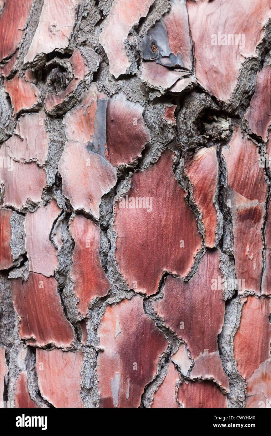 L'écorce rouge d'un pin dans la réserve naturelle de Corse, France, close-up Photo Stock