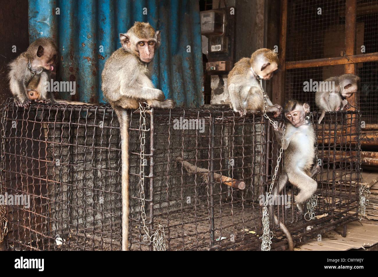Les jeunes, enchaînés, des macaques à vendre à l'oiseau et du marché des animaux à Denpasar, dans le Sud de Bali, Banque D'Images