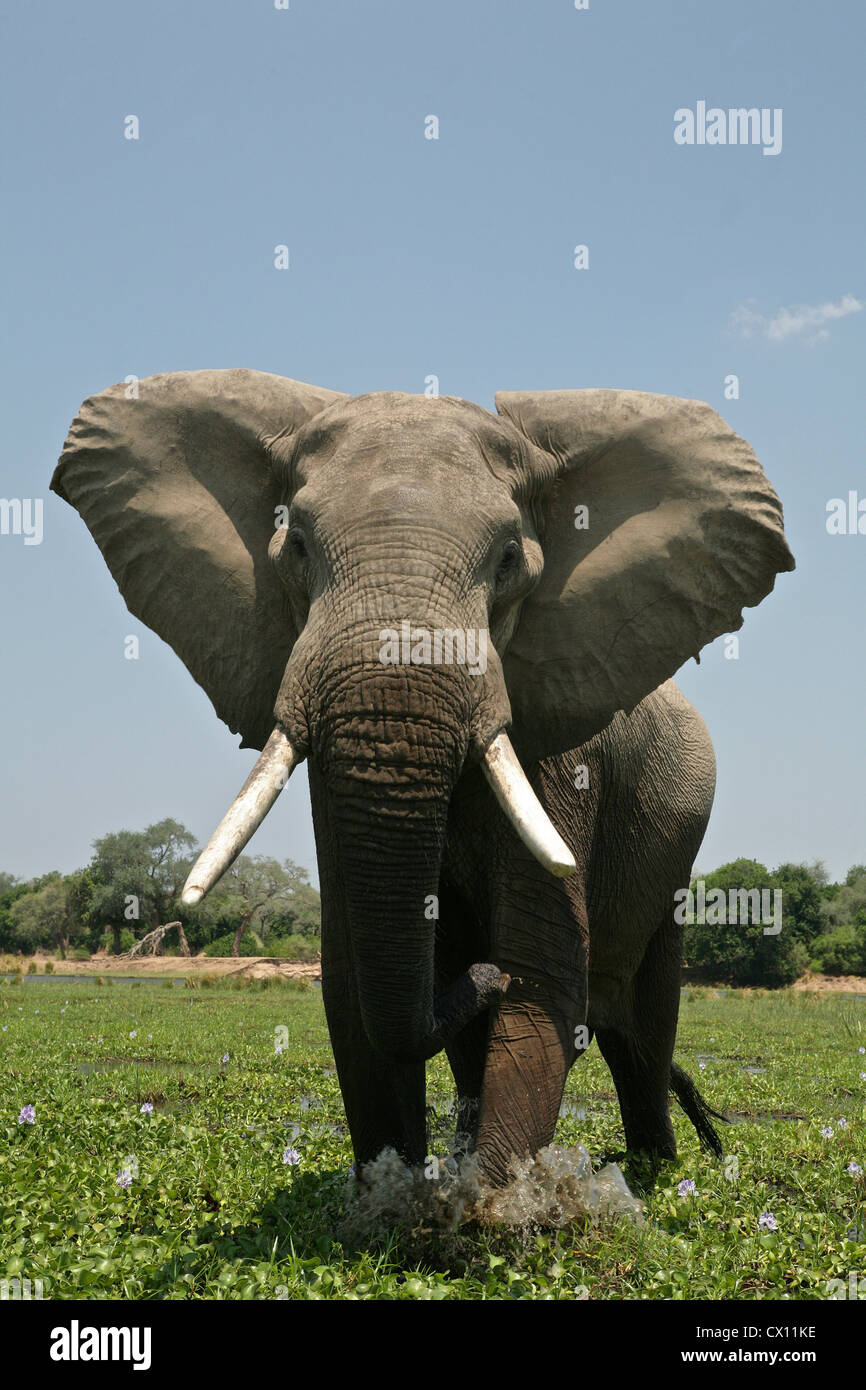 Elephant bull dans une simulation de charge, Mana Pools, Zimbabwe Photo Stock