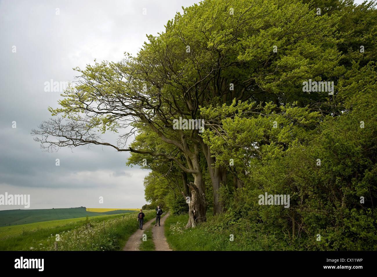 Les hêtres antiques sur le chemin d'interurbains Ridgeway près de Liddington Hill, Wiltshire, Royaume-Uni Banque D'Images