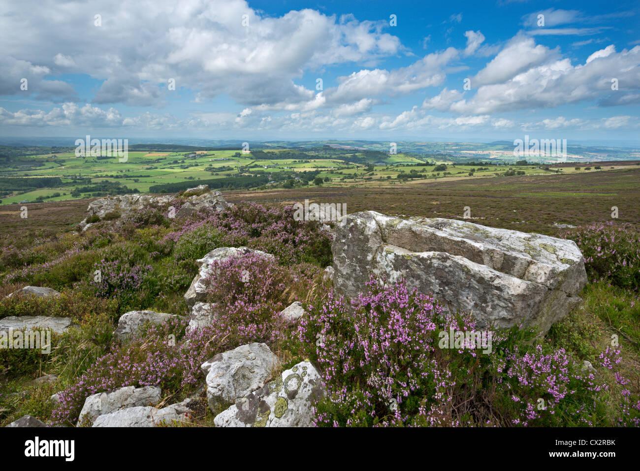 La floraison sur les Stiperstones heather ridge, Shropshire, Angleterre. L'été (août) 2012. Photo Stock