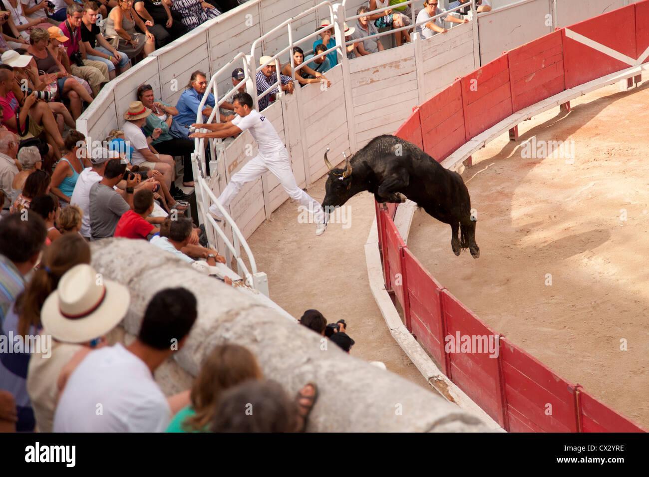 Un taureau s échappe de l arène pendant  La course Camarguaise  bull courses  dans l amphithéâtre romain, Arles, Provence, France 3dc3118107e