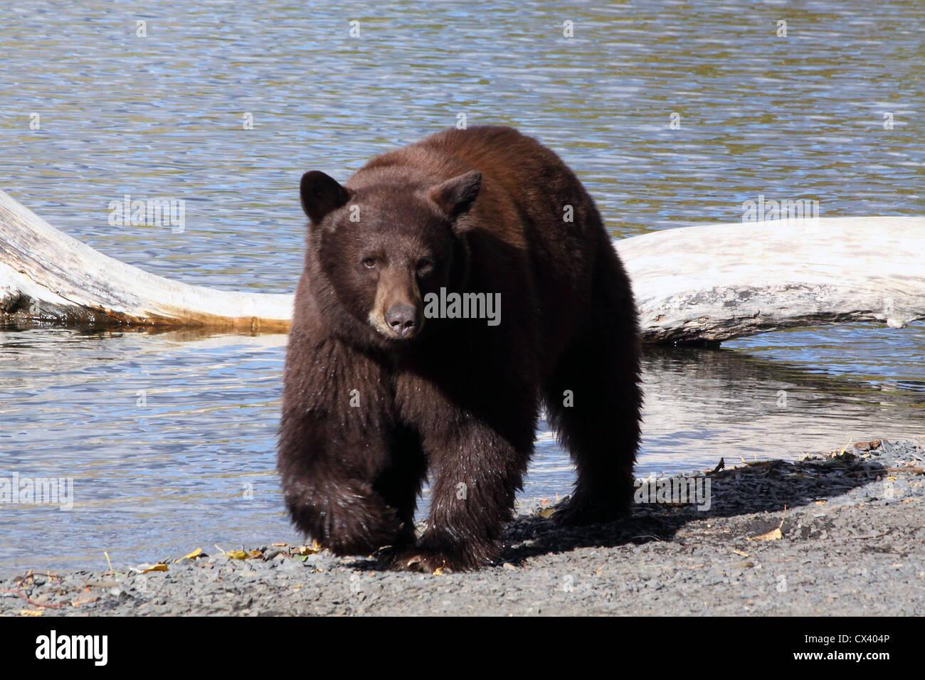 L'Ours noir Le lac Convict Californie Banque D'Images