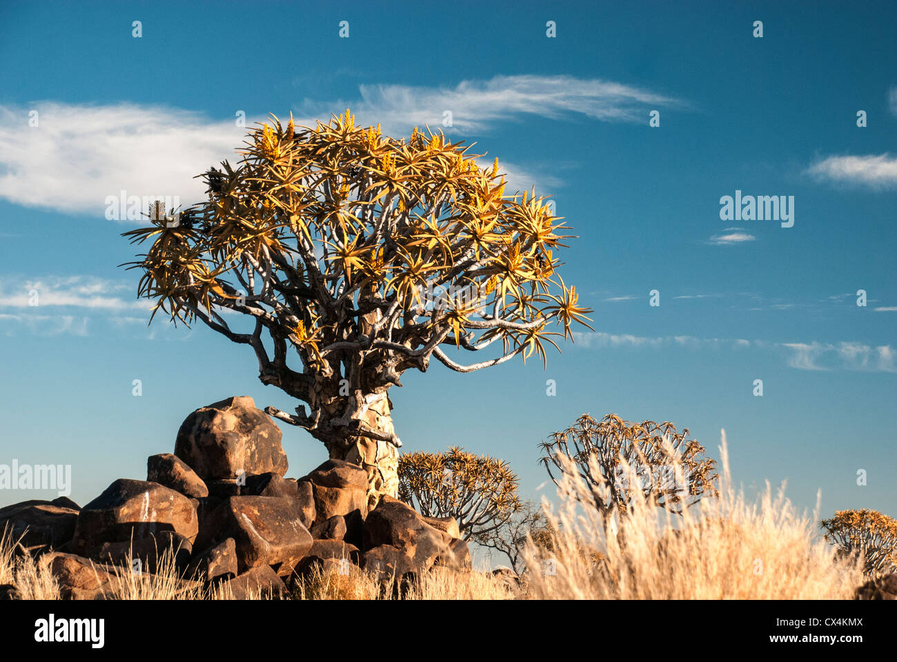 Arbres carquois Kokerboom, Aloe dichotoma, Quiver Tree, forêt, Ferme Gariganus, Keetmannshoop, Namibie, Afrique Photo Stock