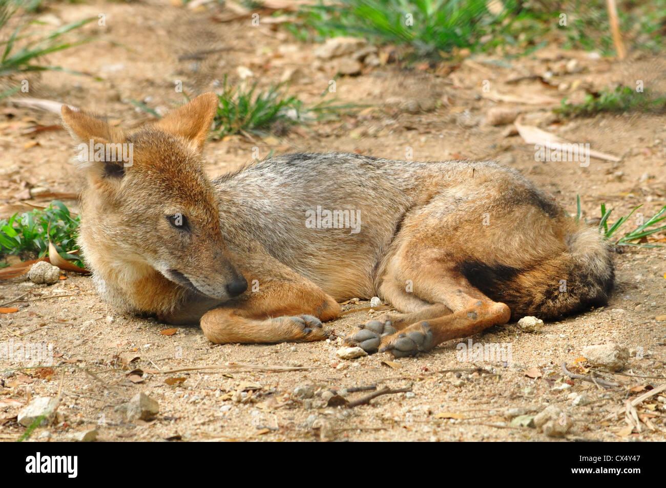 Chacal indien ( Canis aureus indicus ) Banque D'Images