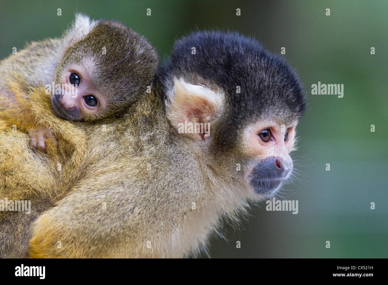 Bolivien femelle singe écureuil (Saimiri boliviensis) transportant les jeunes sur son dos. Photo Stock