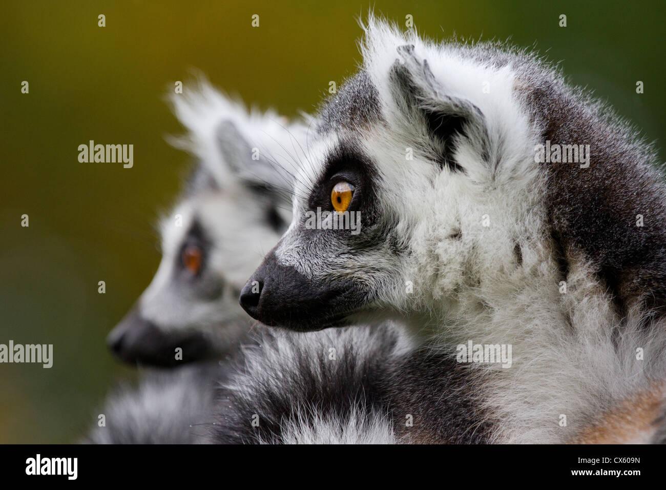 Deux lémuriens à queue anneau Photo Stock