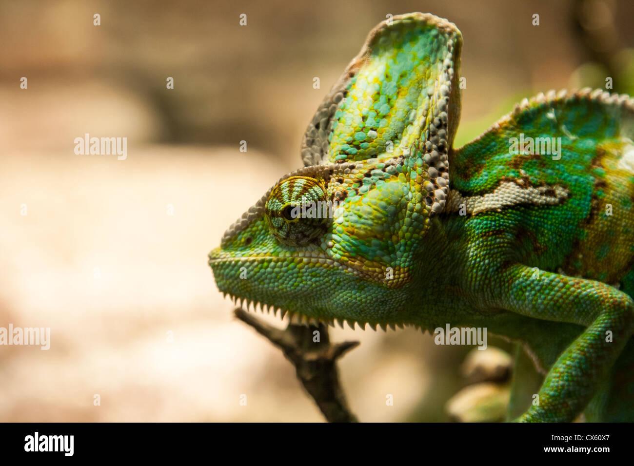 Portret petit caméléon vert sur la plante Photo Stock