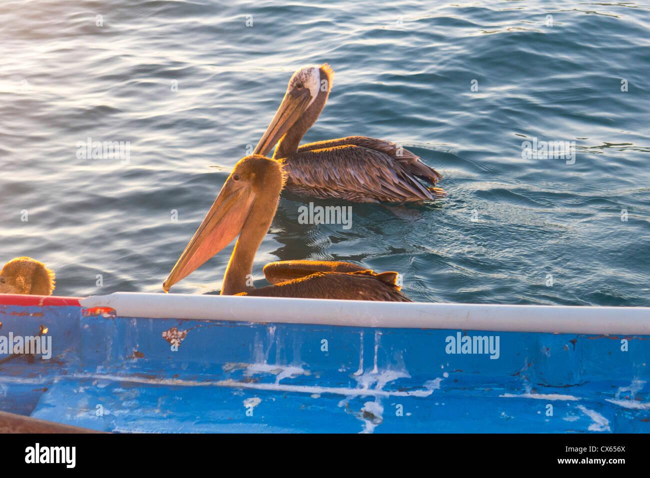 Pelican, Marina, Cabo San Lucas, Baja, au Mexique Photo Stock