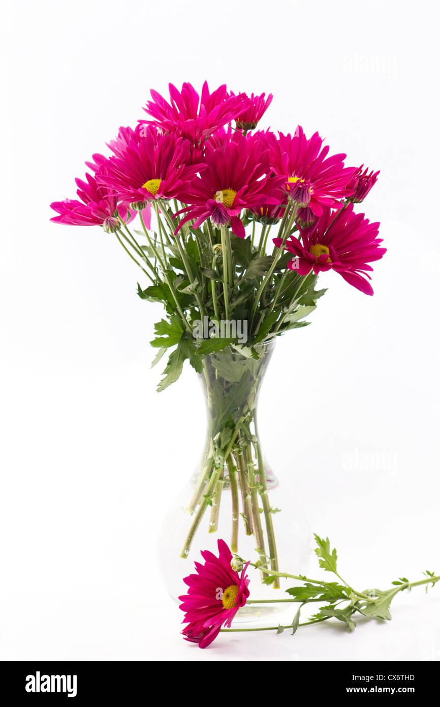 Chrysanthème sur fond blanc Banque D'Images