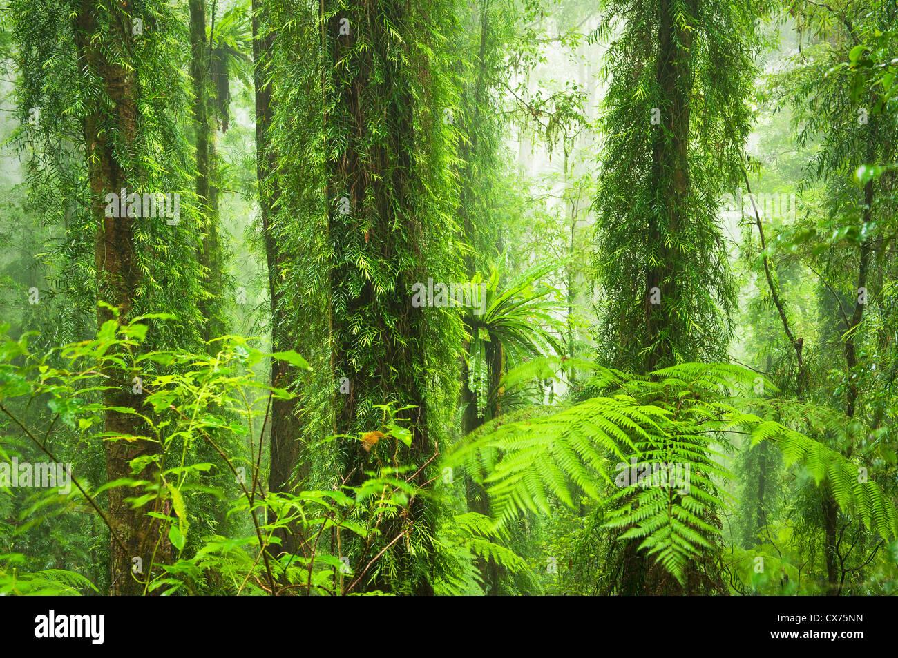 Dorrigo Rainforest dans de la brume. Photo Stock