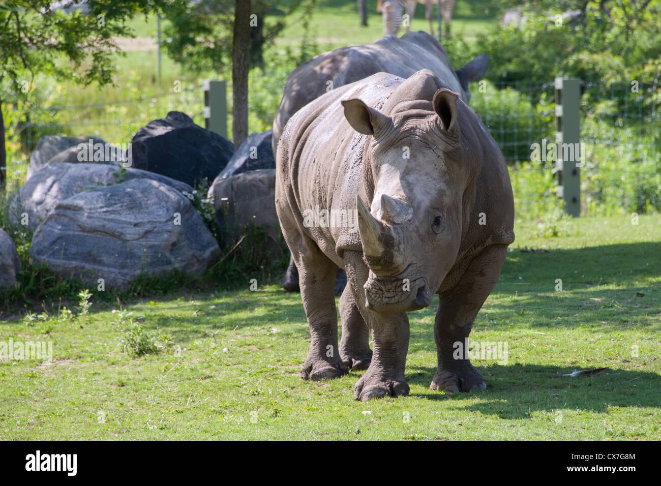 Il s'agit d'une image d'un rhinocéros au Zoo de Toronto Photo Stock