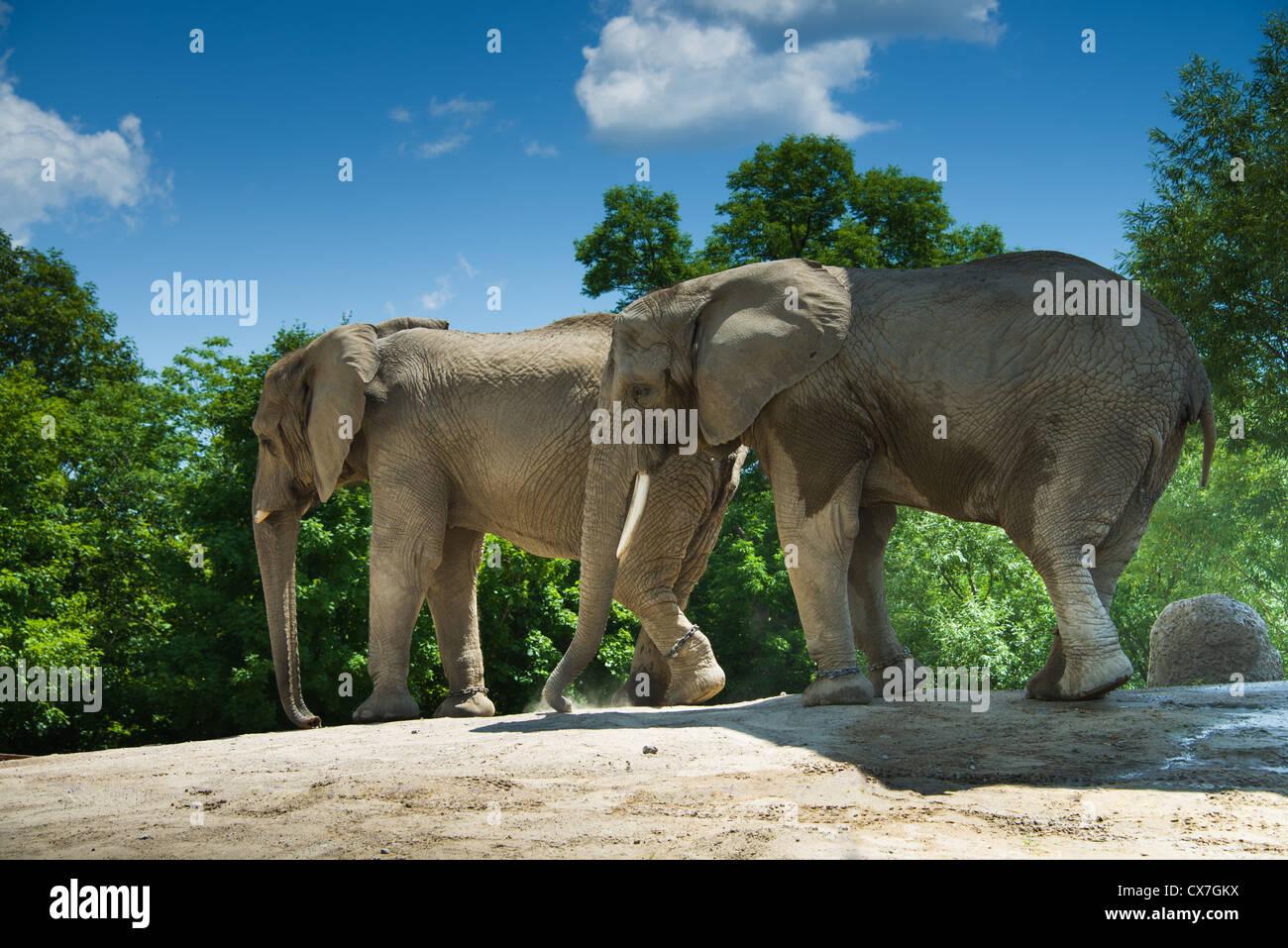 Il s'agit d'une image de l'éléphant au zoo de Toronto Banque D'Images