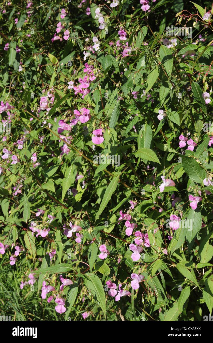 Les Indiens ou de l'Himalaya (Impatiens glandulifera) baumier un non invasive de plus en plus de plantes indigènes au Royaume-Uni Banque D'Images